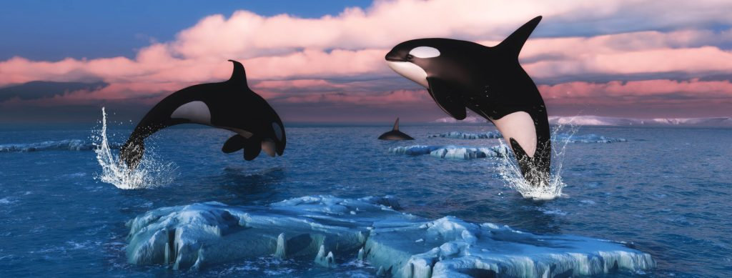 orca killer whale meaning
