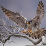 The Parable of the Peregrine Falcon