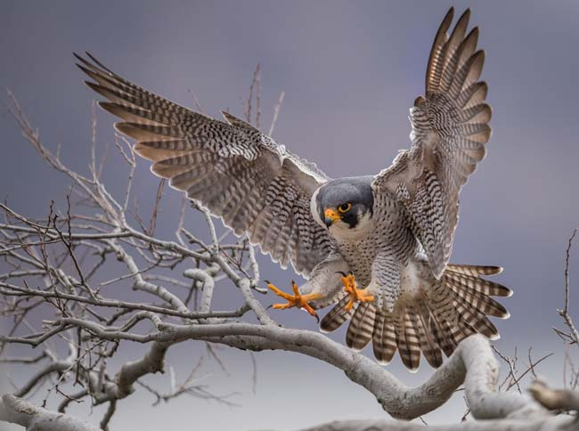 Parable of the Peregrine Falcon Meaning